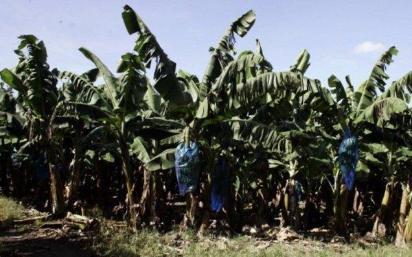Scandale sanitaire aux Antilles. Des dizaines de générations contaminées pour les profits des industriels et de l'État